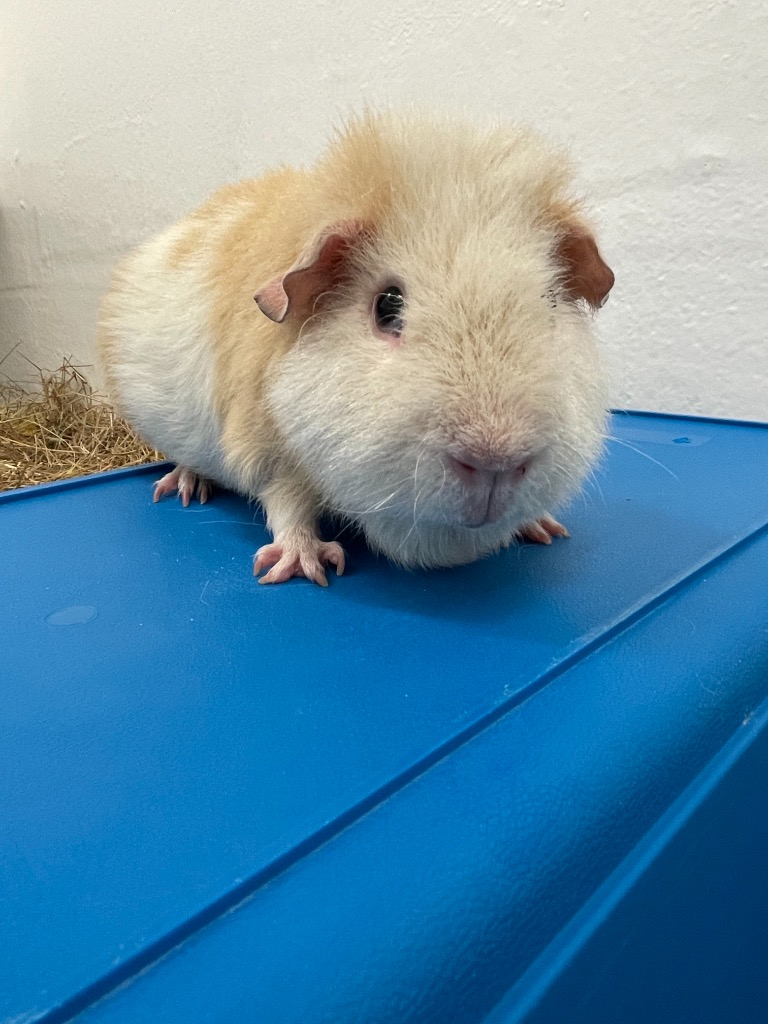 Cat and Rabbit Rescue Centre - Adopt a guinea pig - Banana Bread