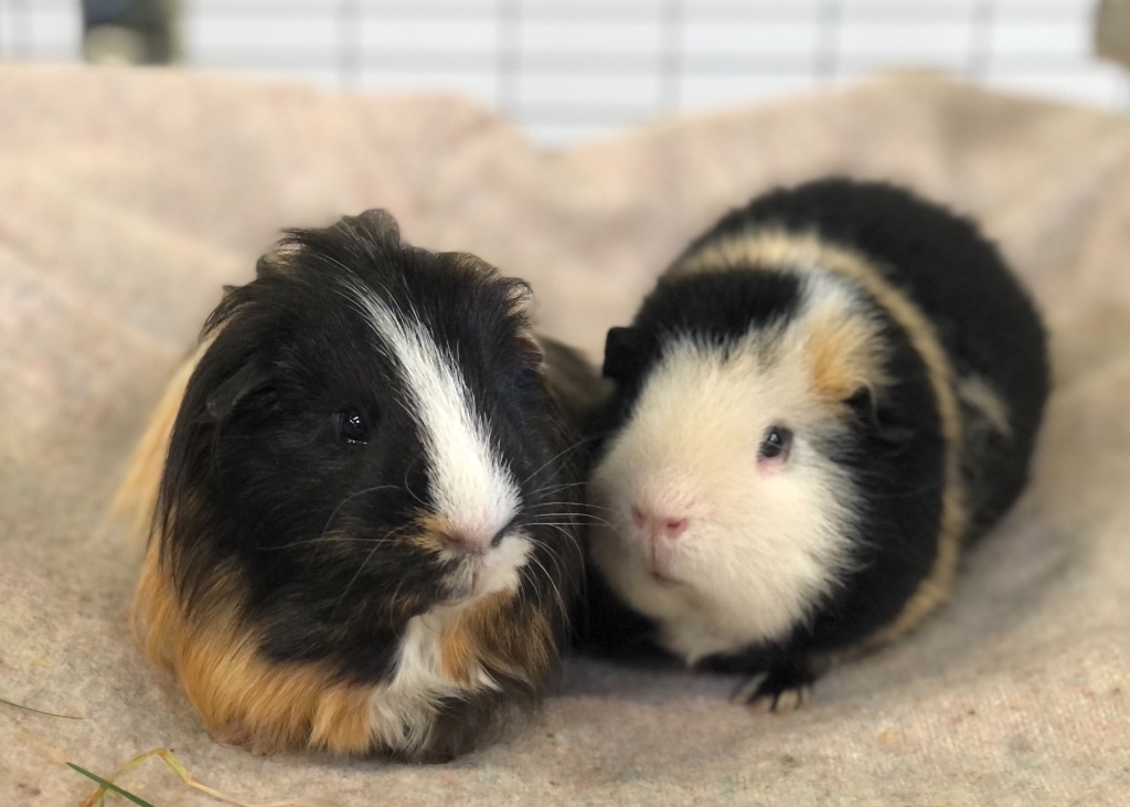 Cat and Rabbit Rescue Centre - Adopt a guinea pig - Baxter's & Bertie Bassett