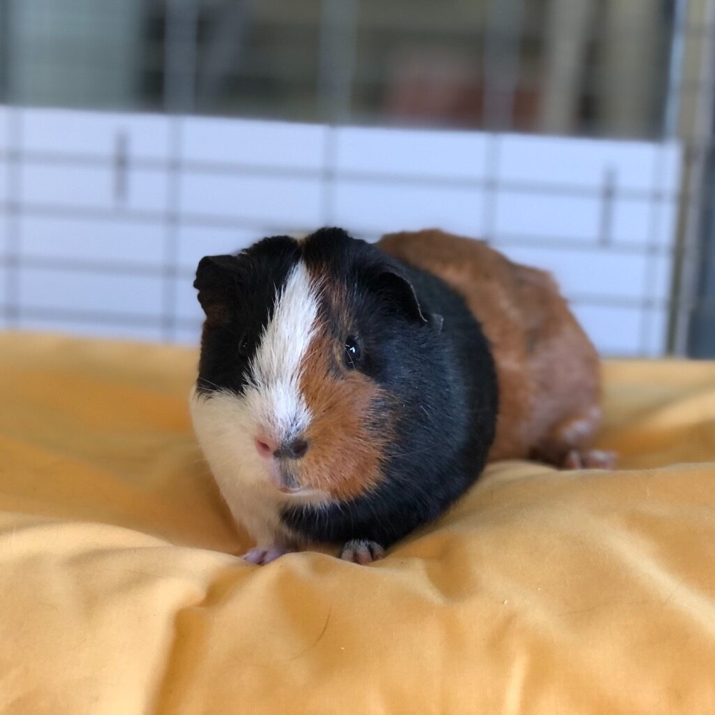 Cat and Rabbit Rescue Centre - Adopt a guinea pig - Jalapeño Popper