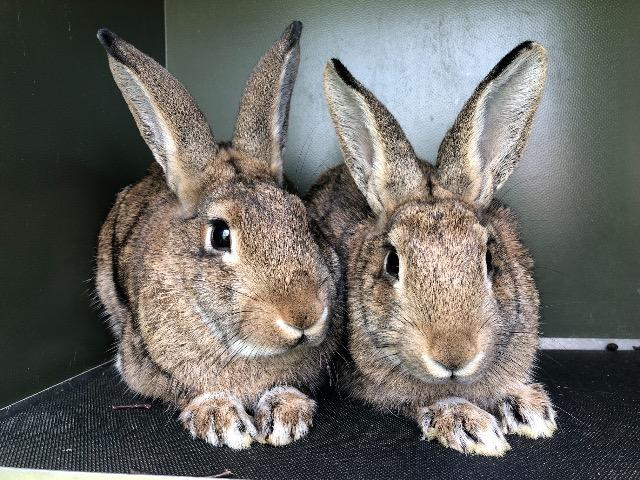 Cat and Rabbit Rescue Centre - Adopt a rabbit - Cannelloni & Rigatoni