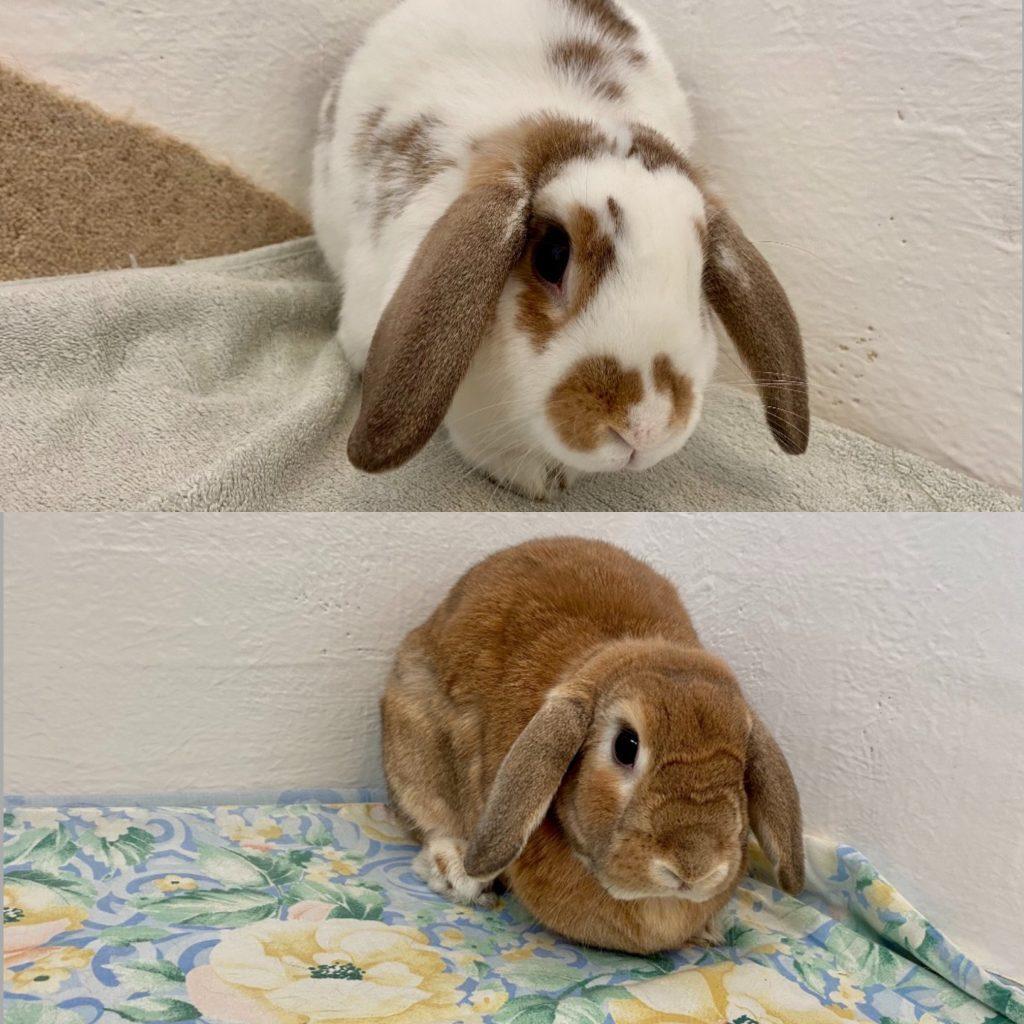 Cat and Rabbit Rescue Centre - Adopt a rabbit - Juicy Peach & Maple Walnut