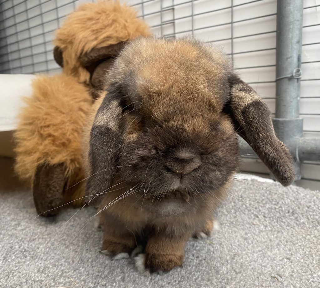 Cat and Rabbit Rescue Centre - Adopt a rabbit - Texas Toast