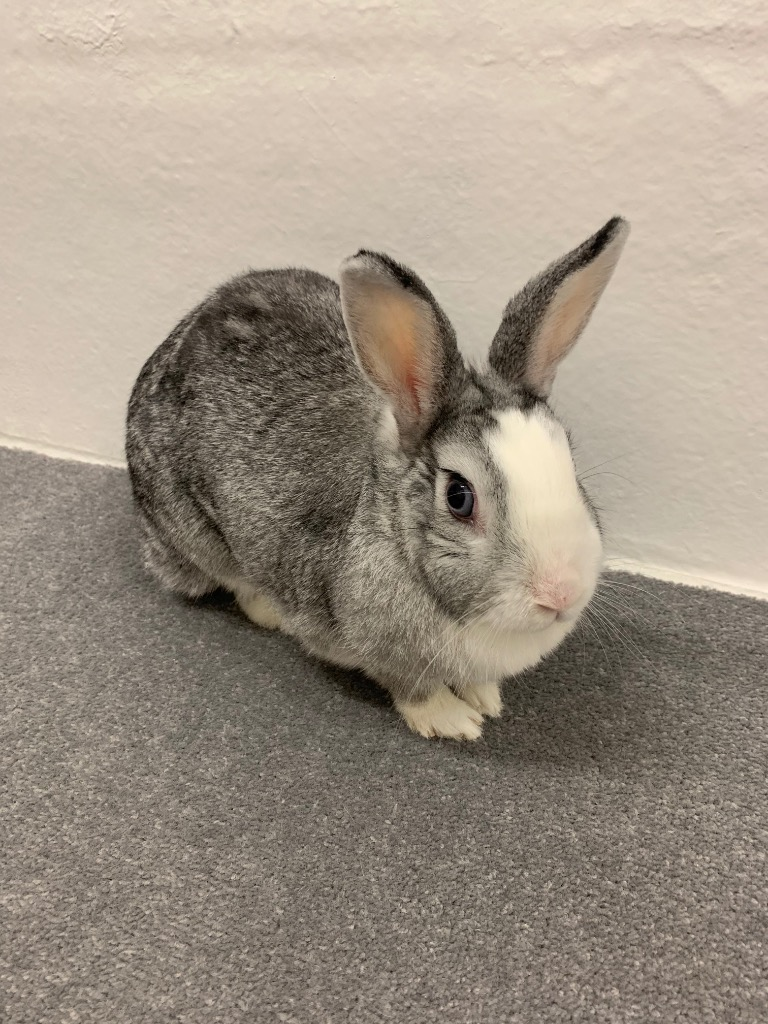 Cat and Rabbit Rescue Centre - Adopt a rabbit - Sweetbread